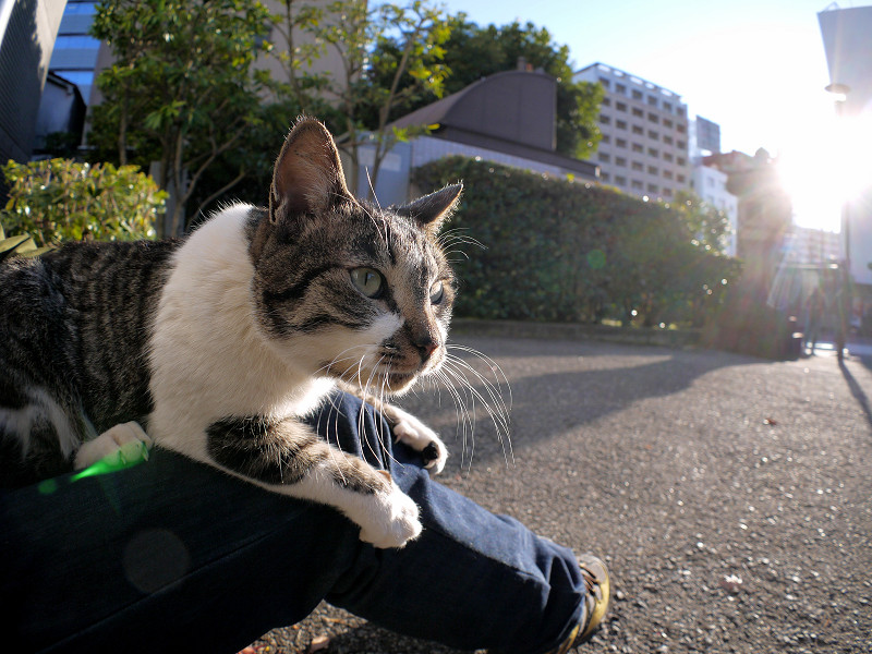 膝の上で動くキジ白猫2