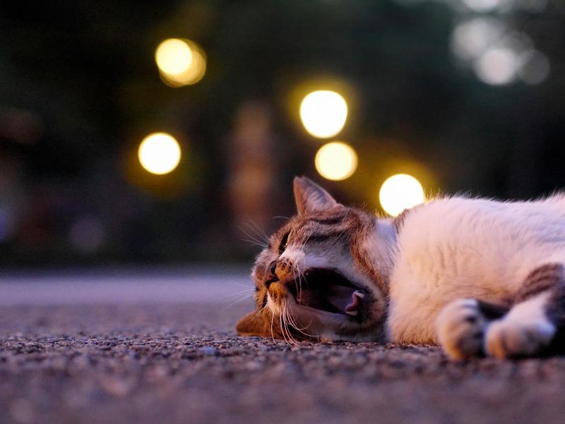 お寺の外灯とキジ白猫2