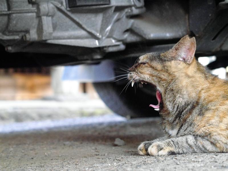 車の下で欠伸しているサビ柄猫2