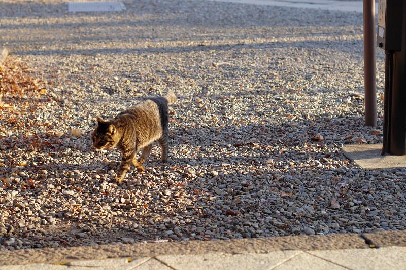 砂利道を歩くキジトラ猫2