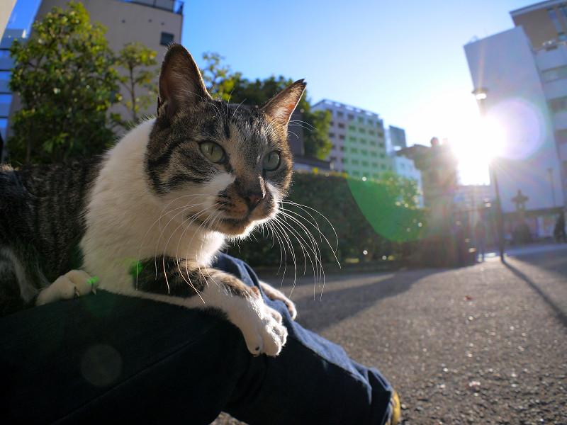 膝の上で動くキジ白猫3