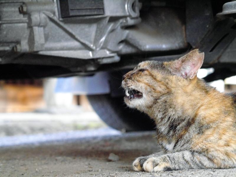 車の下で欠伸しているサビ柄猫3