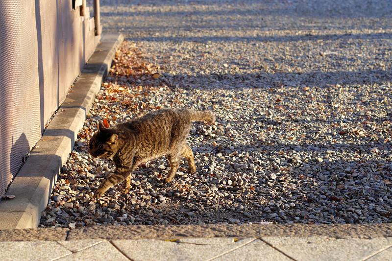 砂利道を歩くキジトラ猫3