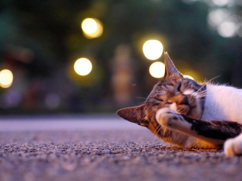 お寺の外灯とキジ白猫4