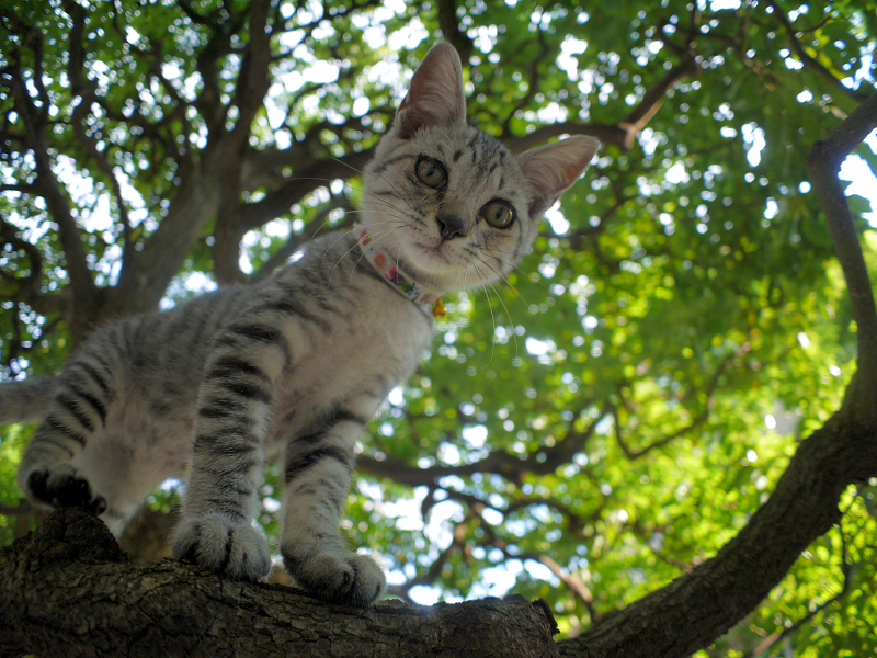 木の上でパンチするサバトラ仔猫1
