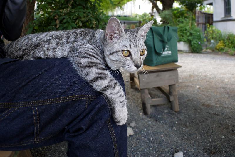 膝でマッタリしたサバトラ仔猫1