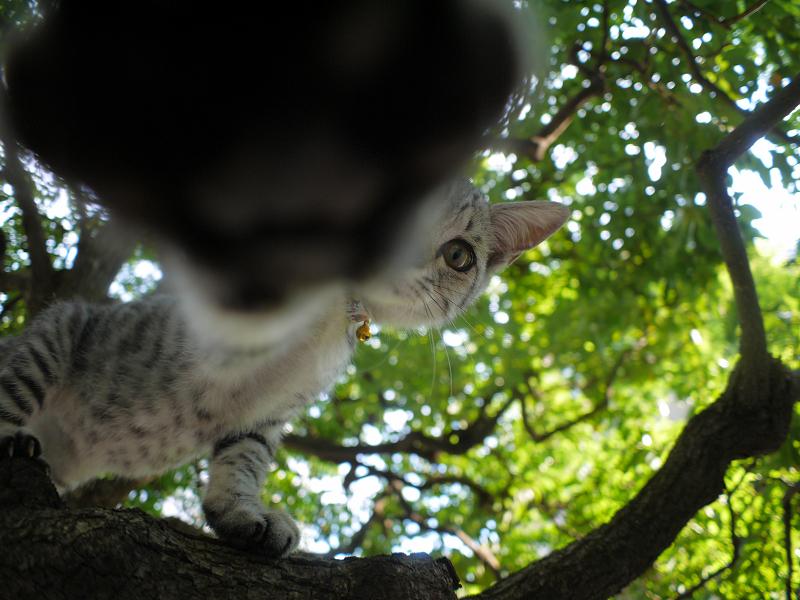 木の上でパンチするサバトラ仔猫2