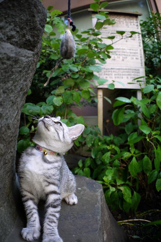 石碑でネズミと遊ぶサバトラ仔猫2