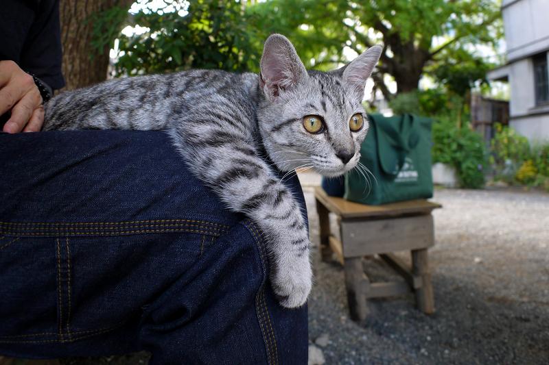 膝でマッタリしたサバトラ仔猫2