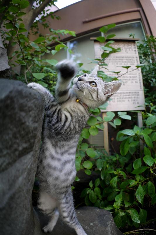石碑でネズミと遊ぶサバトラ仔猫3
