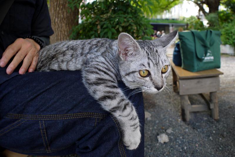 膝でマッタリしたサバトラ仔猫3