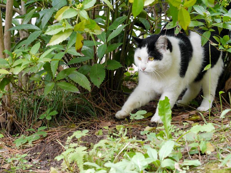茂みに後ずさりする黒白猫1
