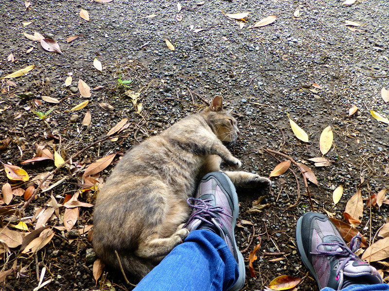 スニーカーを蹴るサビキジ猫1