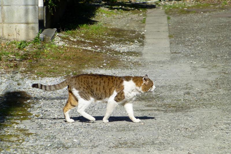 路地を堂々と歩くキジ白猫1