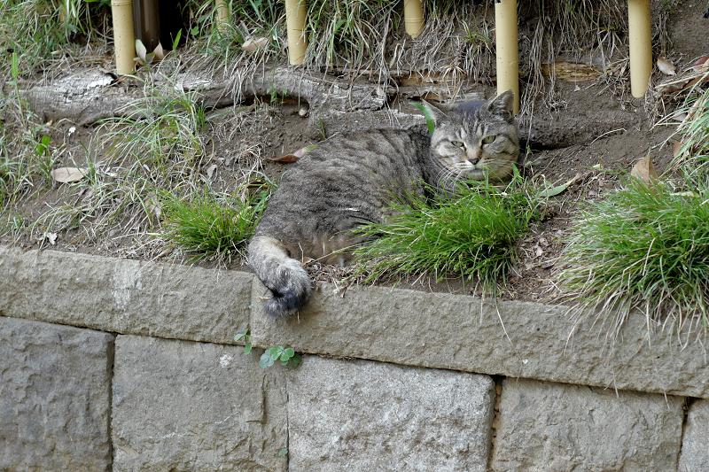 斜面で寛ぐキジトラ猫