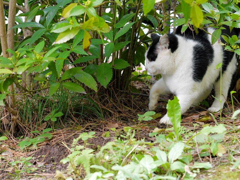 茂みに後ずさりする黒白猫2