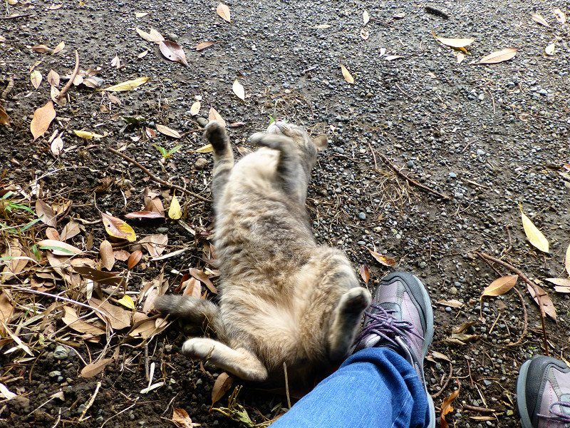 スニーカーを蹴るサビキジ猫2