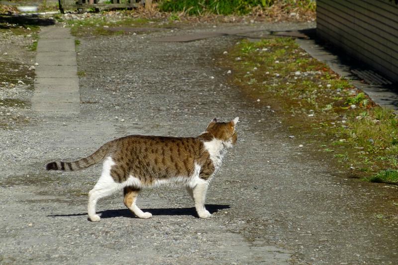 路地を堂々と歩くキジ白猫2