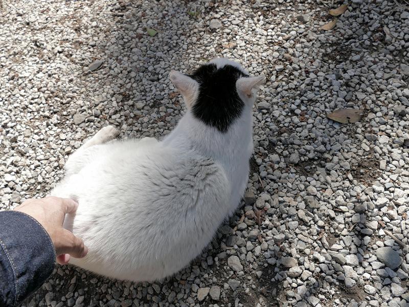 背中から触られる白黒猫3