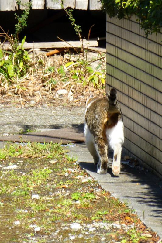 路地を堂々と歩くキジ白猫3