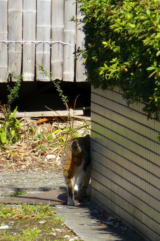 路地を堂々と歩くキジ白猫4