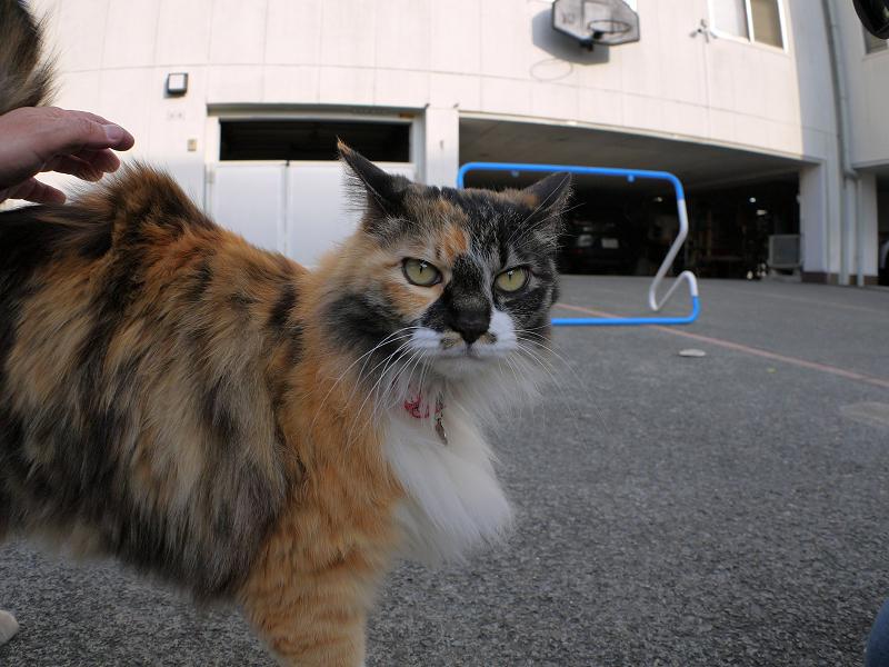 腰と頭を触られる毛長の三毛猫1