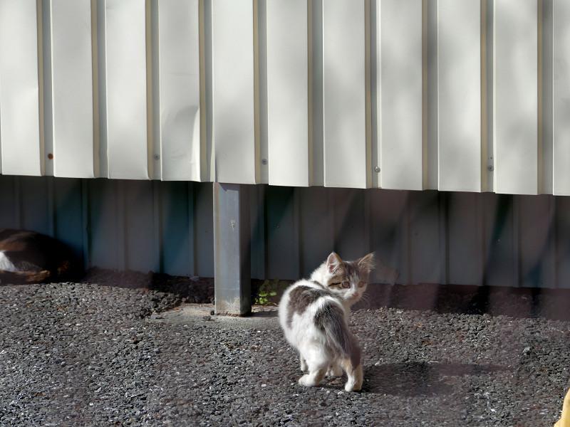 駐車場の白キジ仔猫1