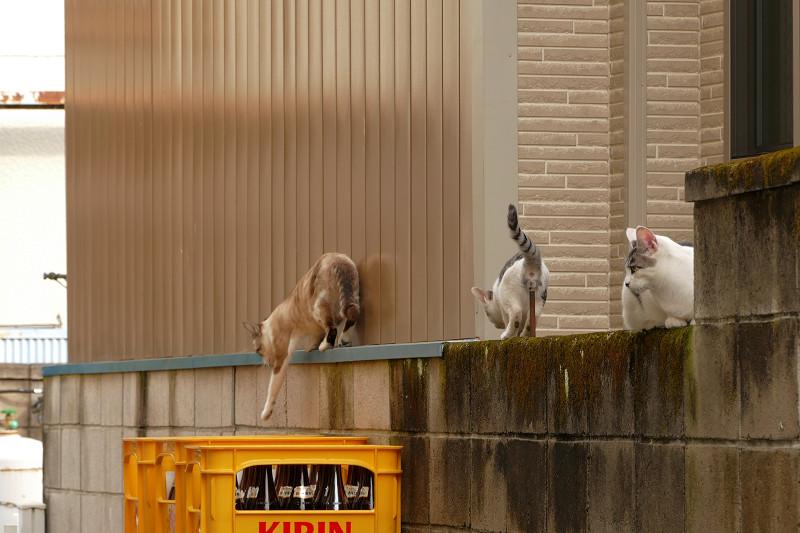 ブロック塀を移動する猫たち1