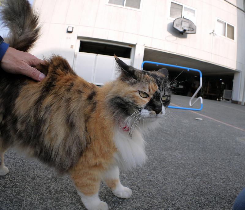 腰と頭を触られる毛長の三毛猫2