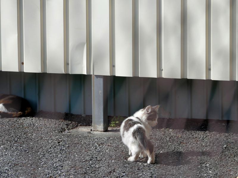 駐車場の白キジ仔猫2