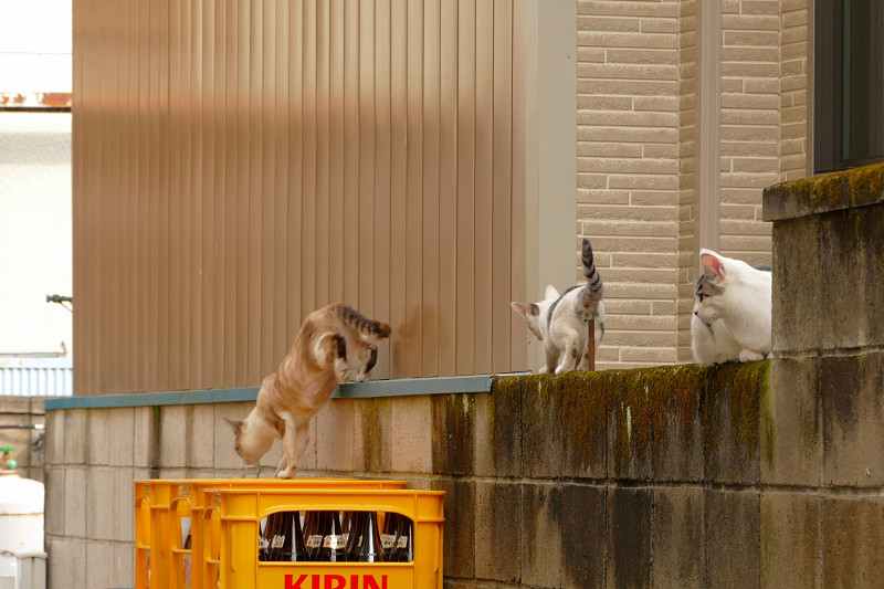 ブロック塀を移動する猫たち2