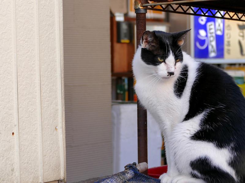 お店前の黒白猫2