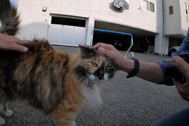 腰と頭を触られる毛長の三毛猫3