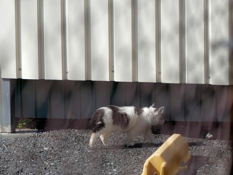 駐車場の白キジ仔猫3