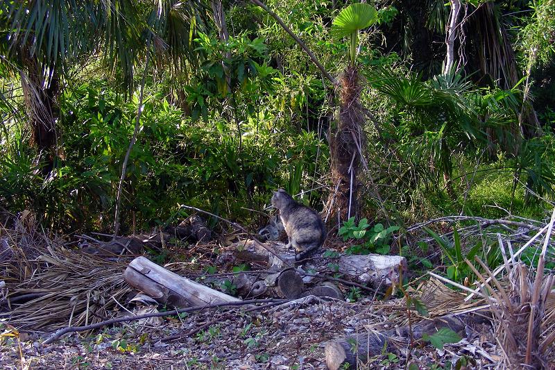 林にサビ柄猫1