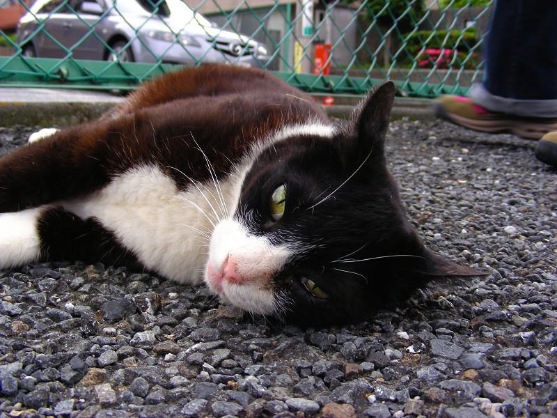 横になってる黒白猫1