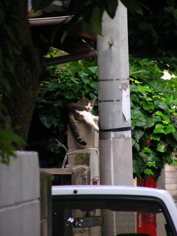 民家玄関ブロック塀のキジ白猫1