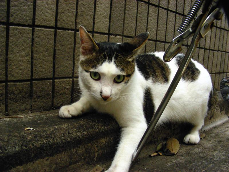 塀の前で遊ぶ白キジ猫1