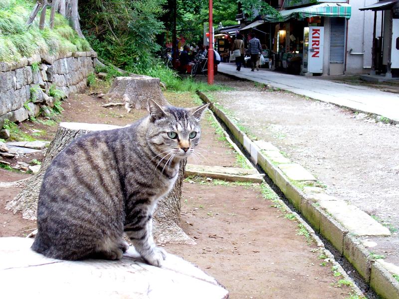 参道切り株とキジトラ猫1