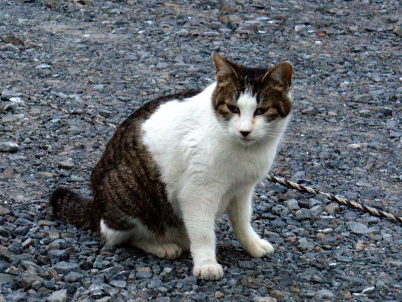 砂利駐車場にいたキジ白猫1