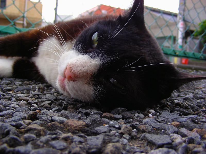 横になってる黒白猫2