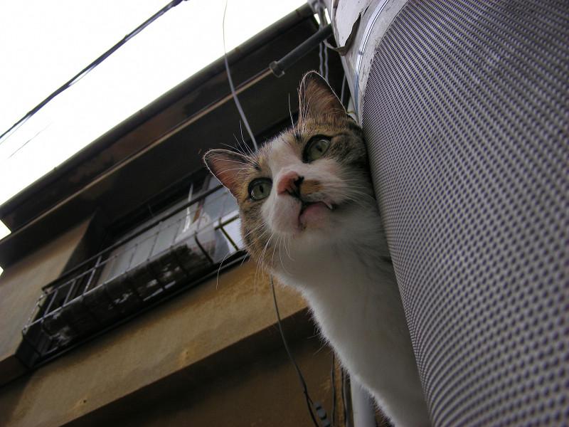 ブロック塀のキジ白猫2