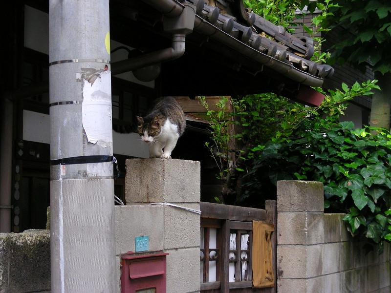 民家玄関ブロック塀のキジ白猫2