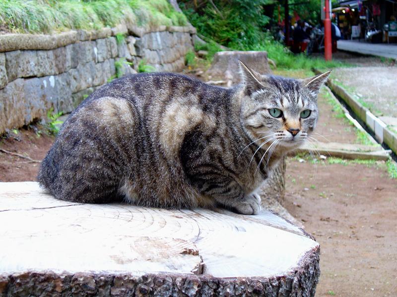 参道切り株とキジトラ猫2