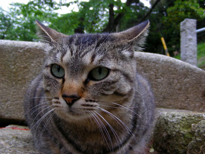 参道切り株とキジトラ猫3