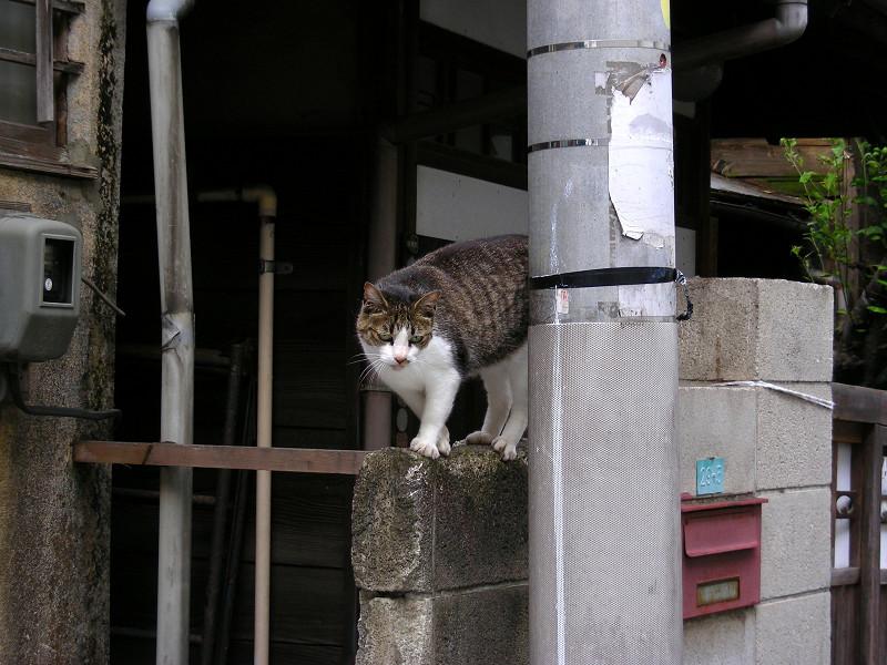 民家玄関ブロック塀のキジ白猫3