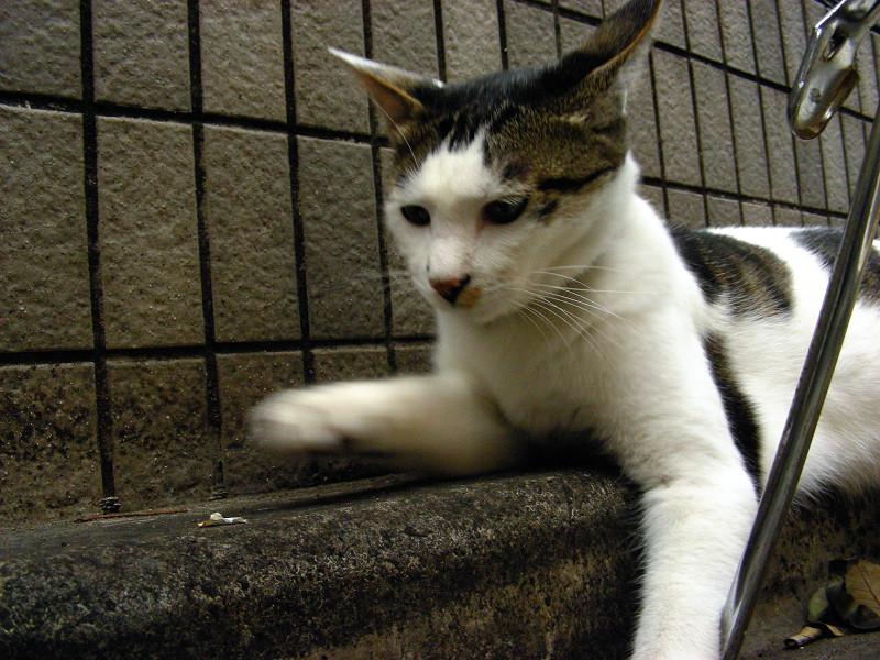 塀の前で遊ぶ白キジ猫3
