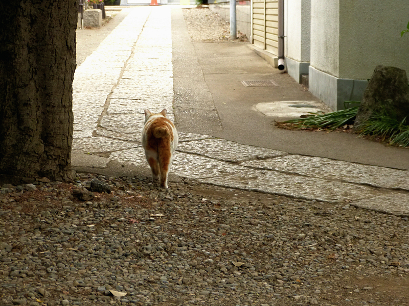 歩いてゆく白茶猫1