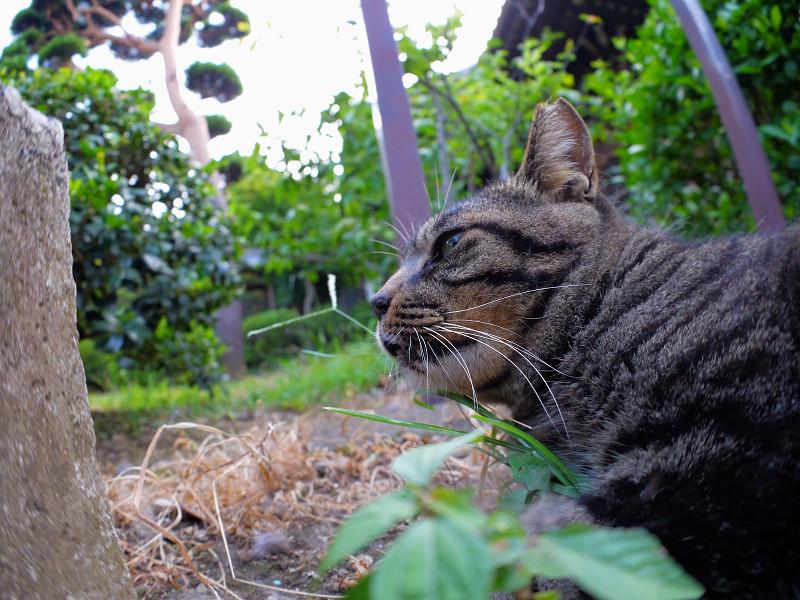 草むらでアクビするキジトラ猫1