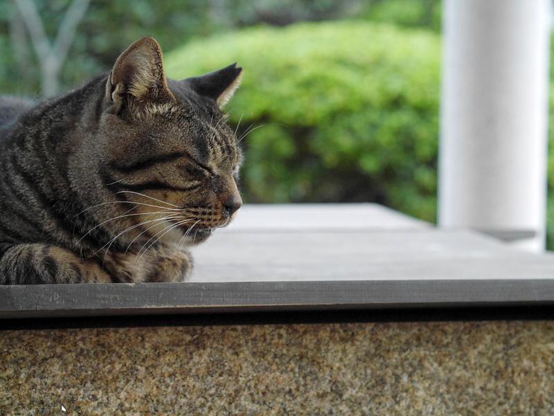井戸の蓋上にいるキジトラ猫1